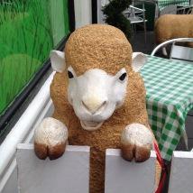 cheeky sheep